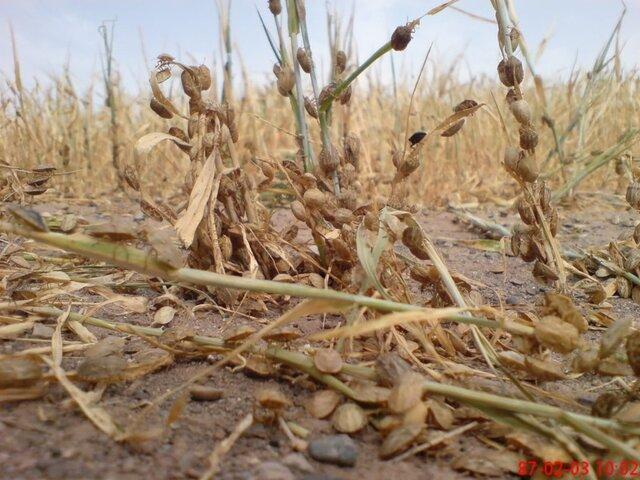 کاهش بارندگی احتمال افزایش آفت سن غلات در مزارع آذربایجان غربی را تقویت می نماید