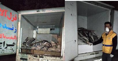 معدوم سازی 500 کیلوگرم ماهی فاسد در یاسوج