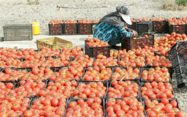 آغاز خرید توافقی سیب زمینی، گوجه فرنگی و پیاز از استان های جنوبی